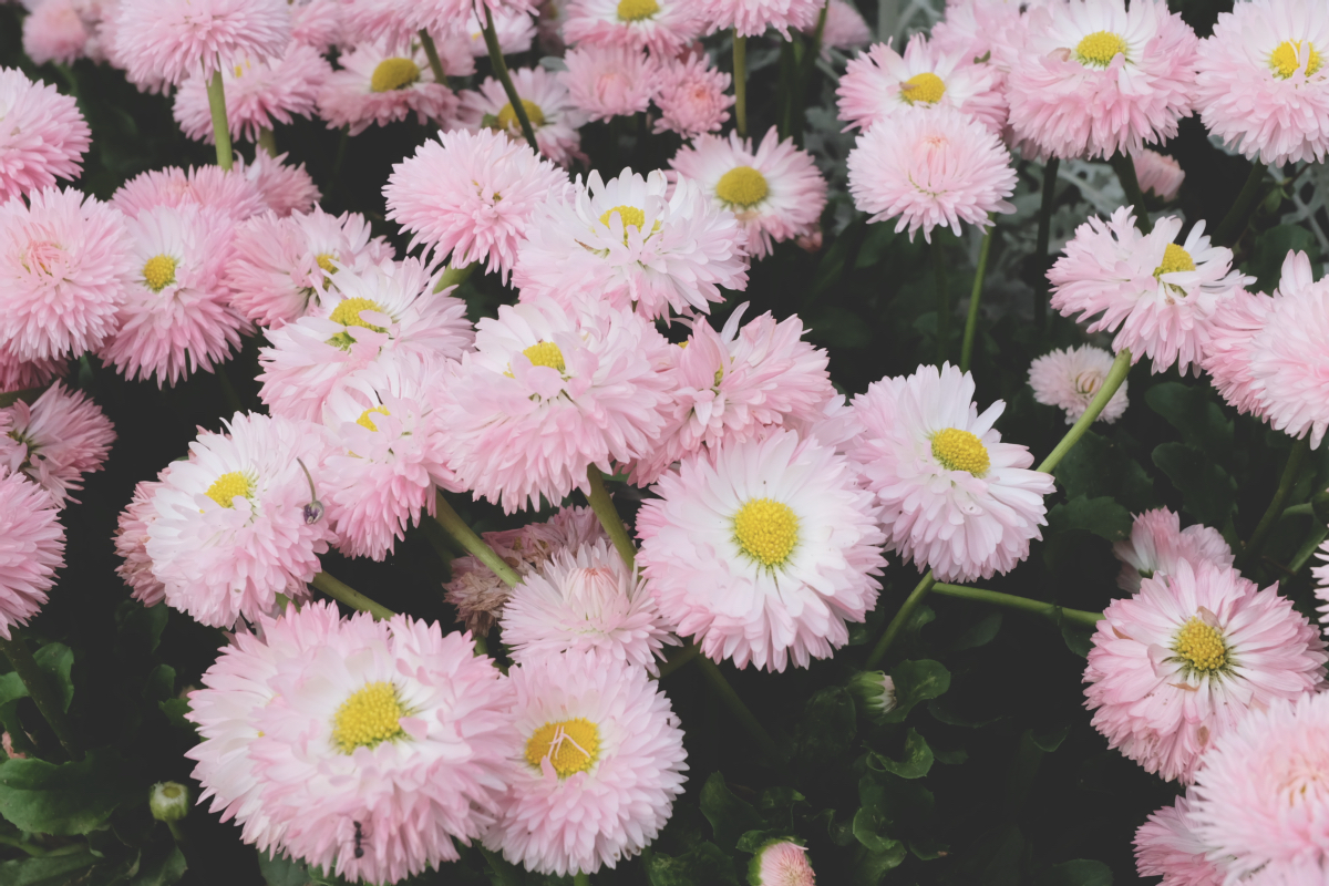 DSCF2913 wisteria ashikaga park