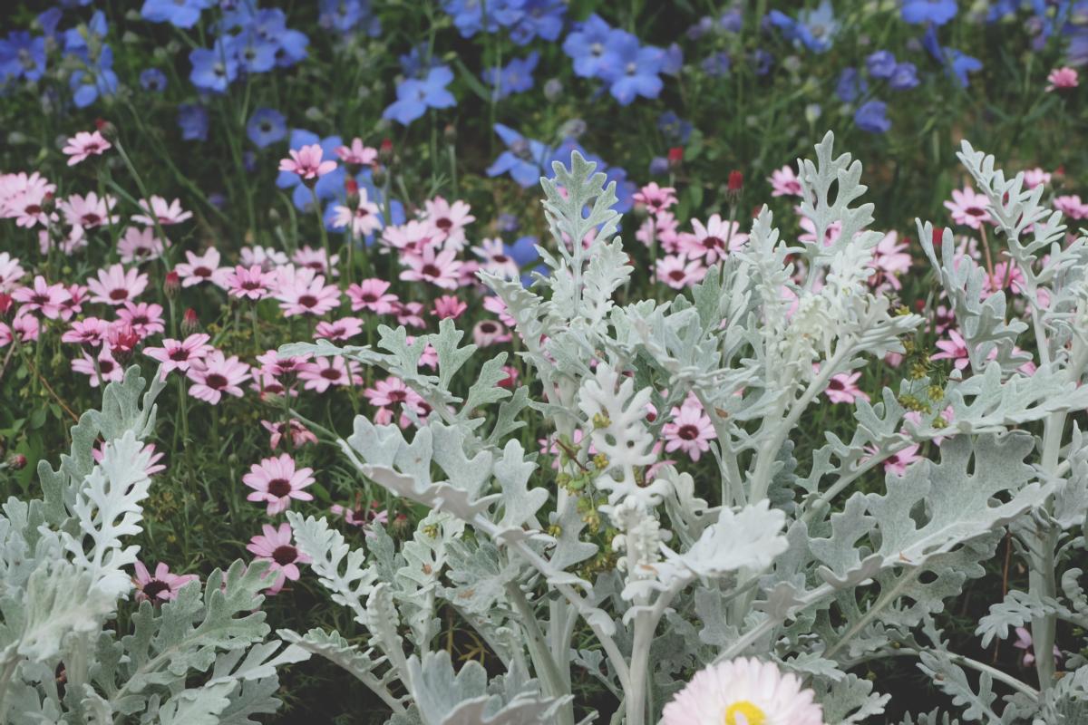 DSCF2914 wisteria ashikaga park