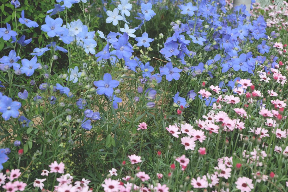 DSCF2915 wisteria ashikaga park