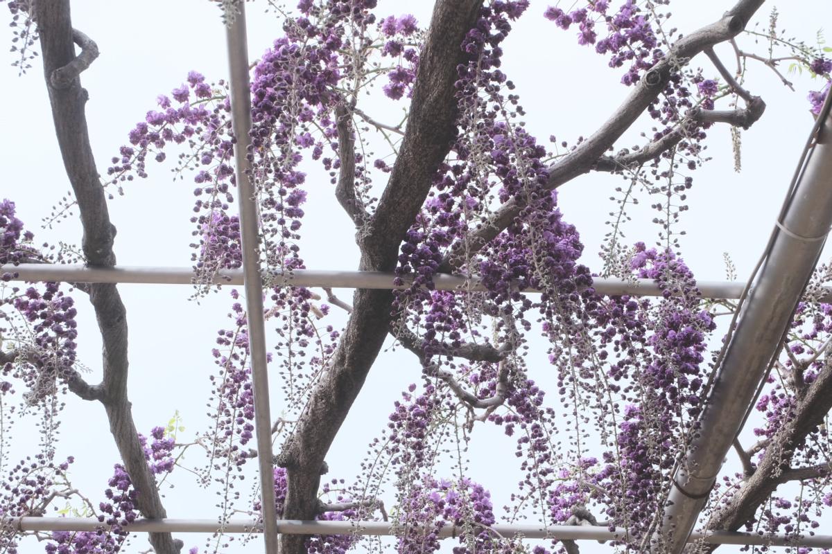 DSCF2916 wisteria ashikaga park