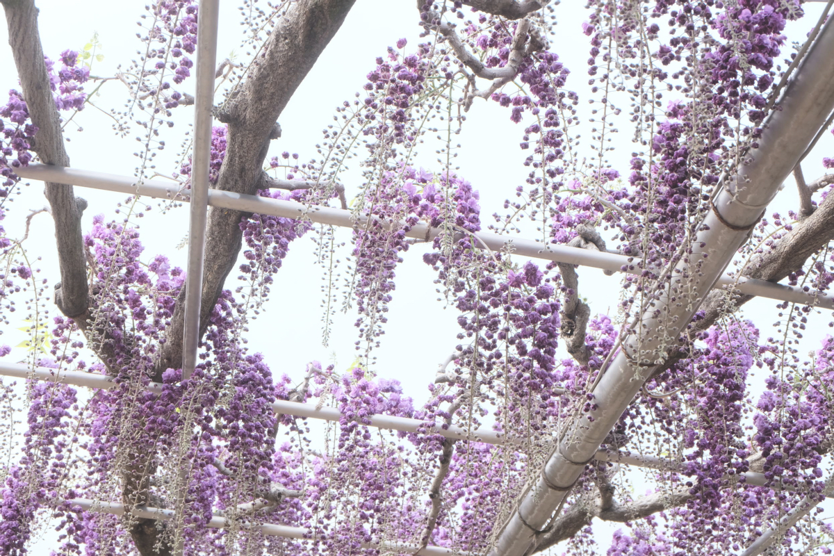 DSCF2917 wisteria ashikaga park