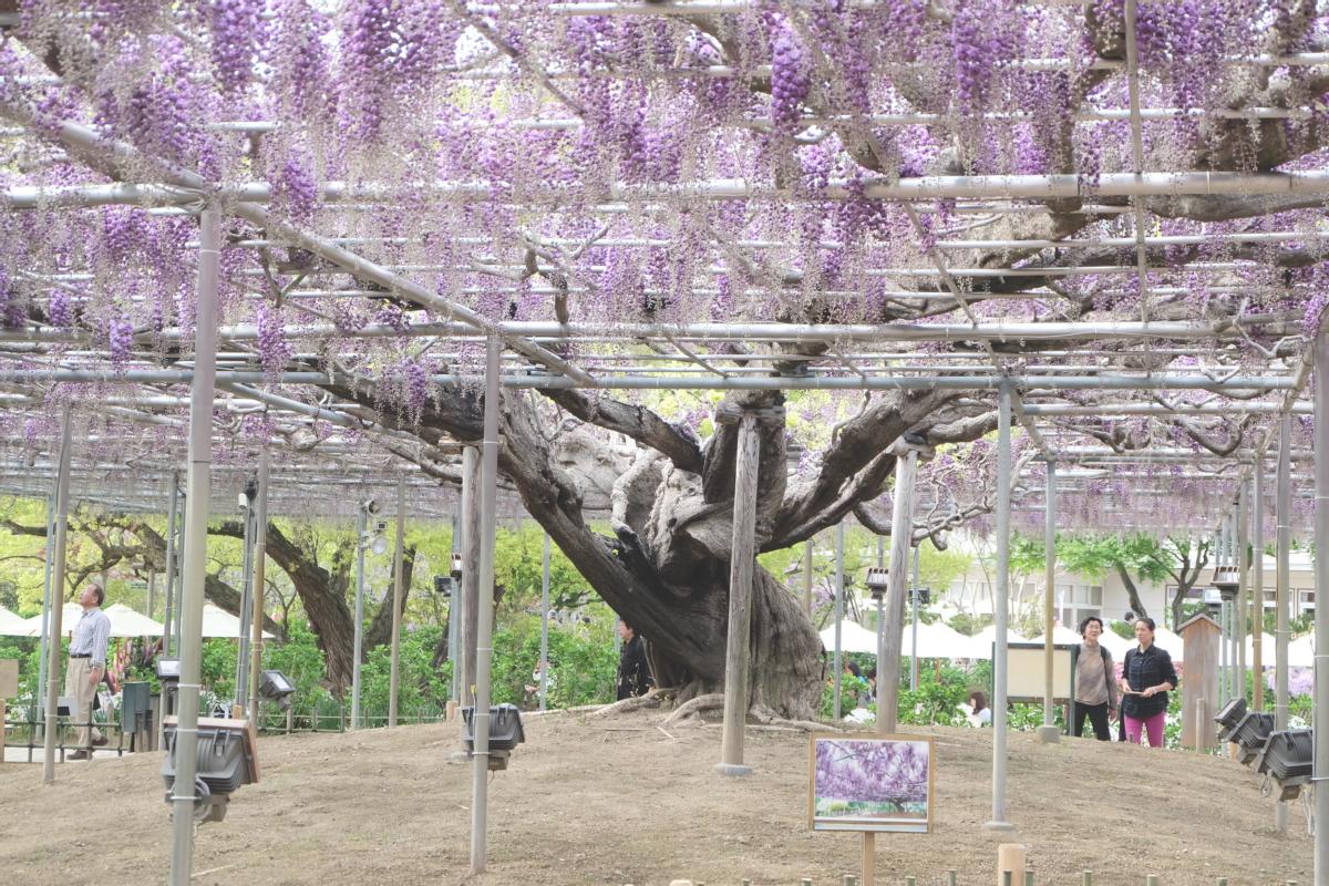 DSCF2918 wisteria ashikaga park