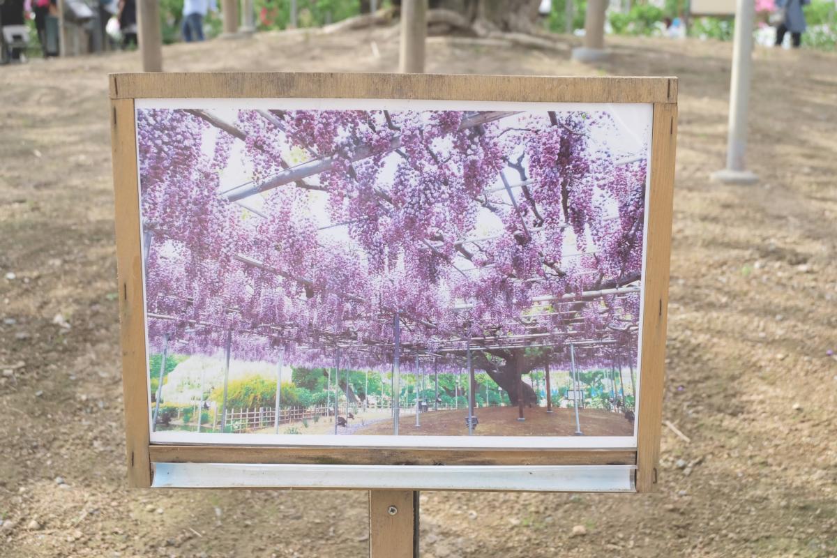 DSCF2920 wisteria ashikaga park