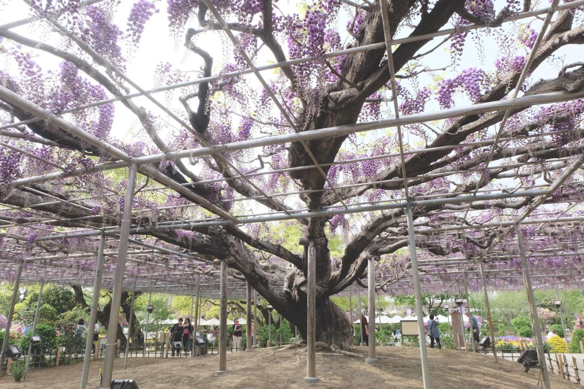 DSCF2921 wisteria ashikaga park