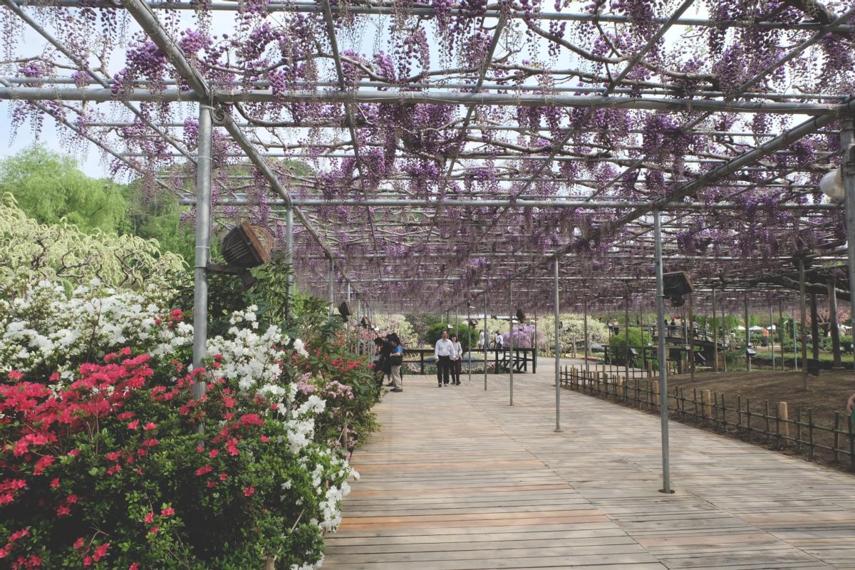 DSCF2927 wisteria ashikaga park