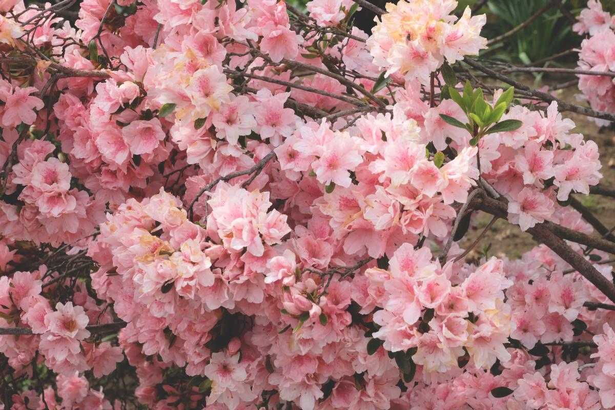 DSCF2929 wisteria ashikaga park