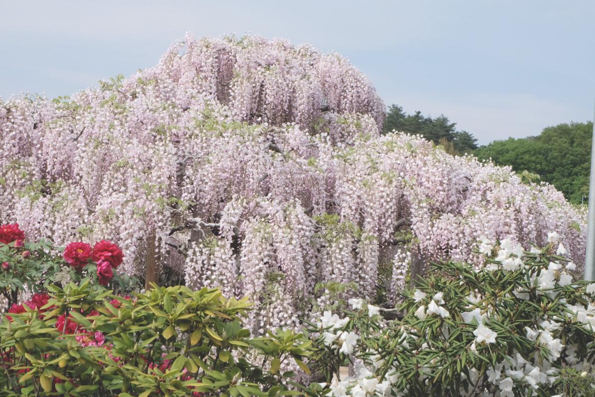 DSCF2930 wisteria ashikaga park