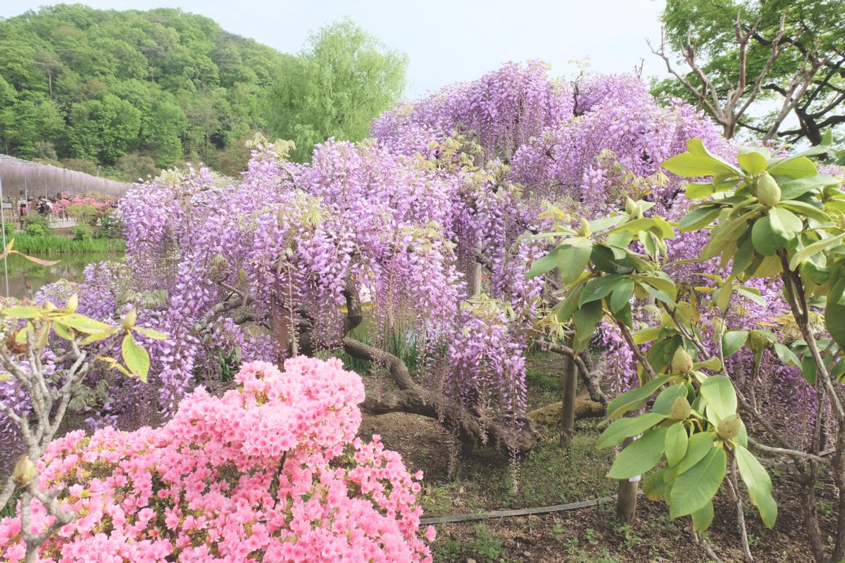 DSCF2931 wisteria ashikaga park