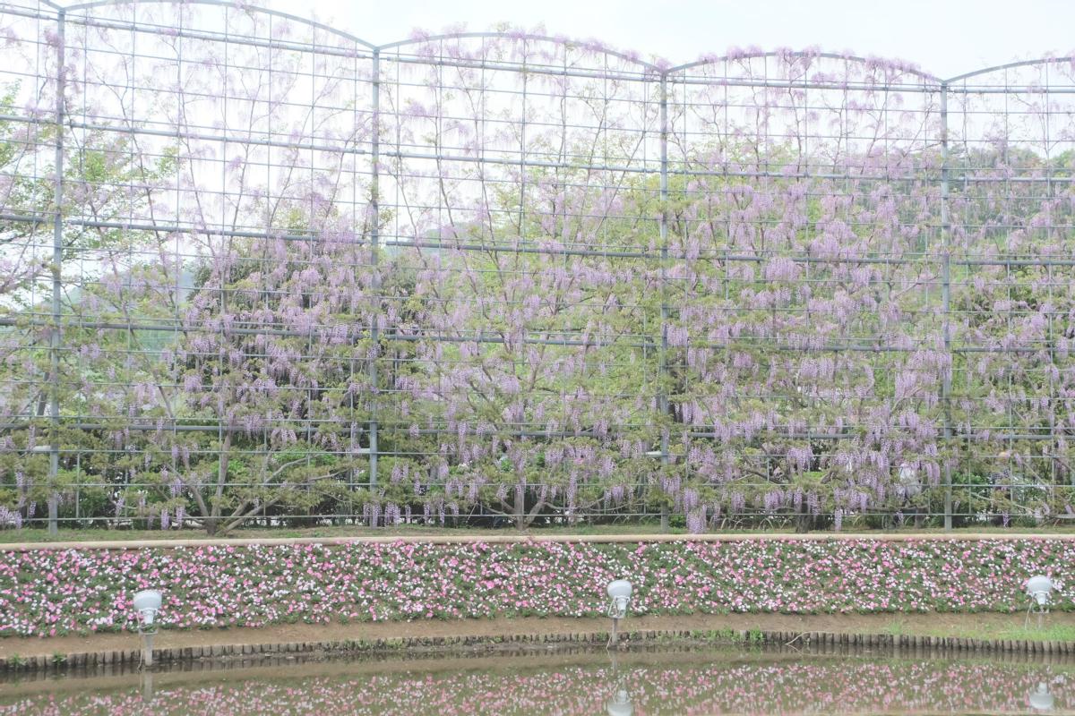 DSCF2932 wisteria ashikaga park