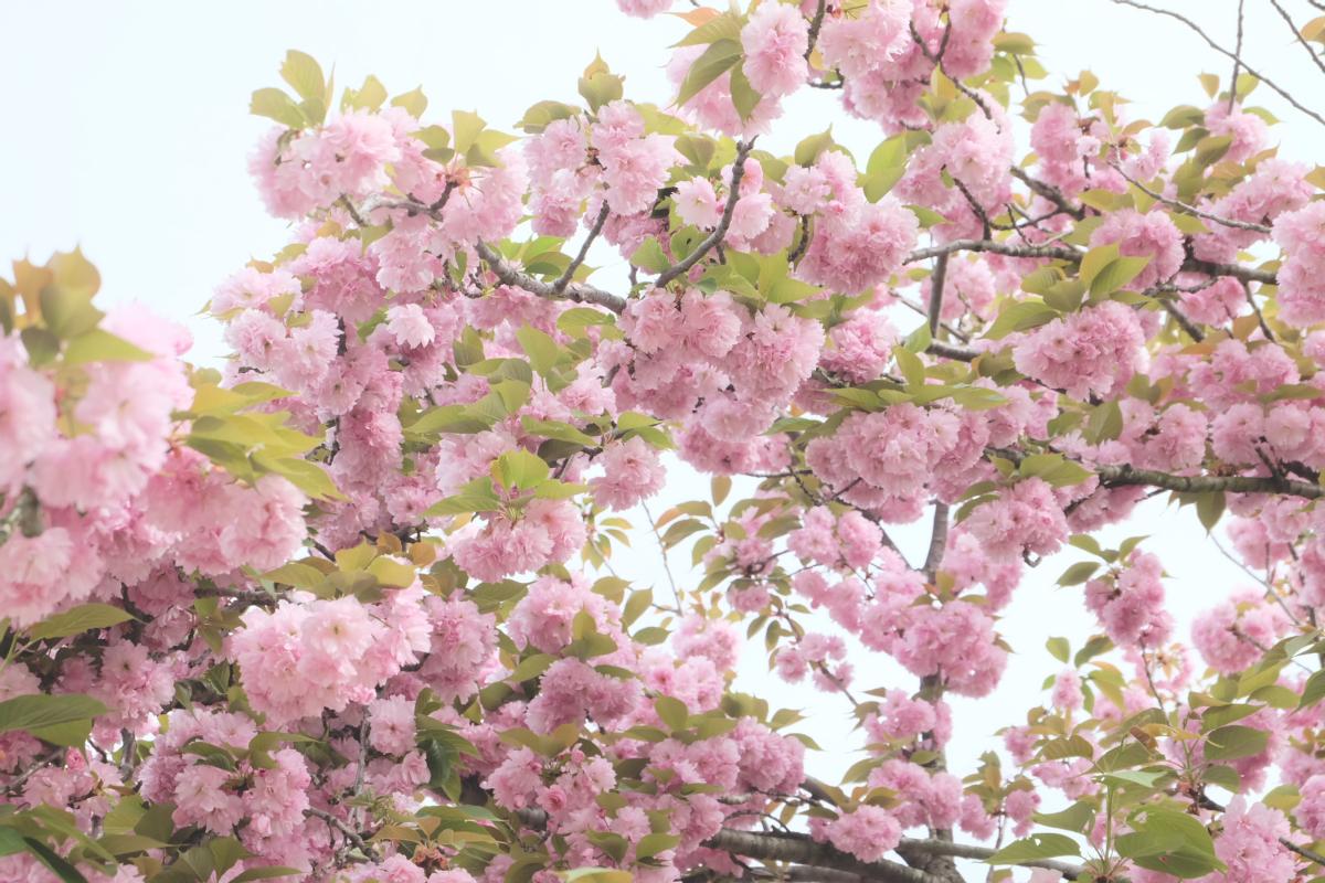 DSCF2933 wisteria ashikaga park
