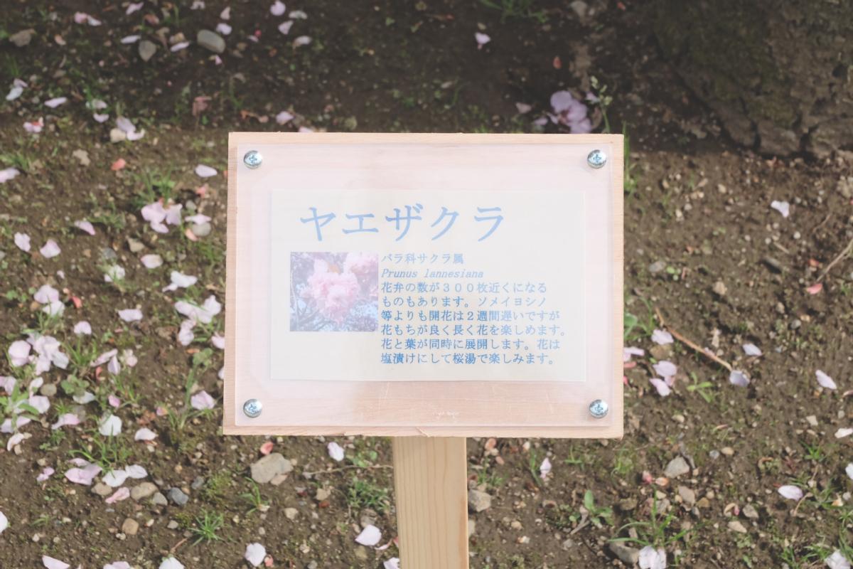 DSCF2934 wisteria ashikaga park