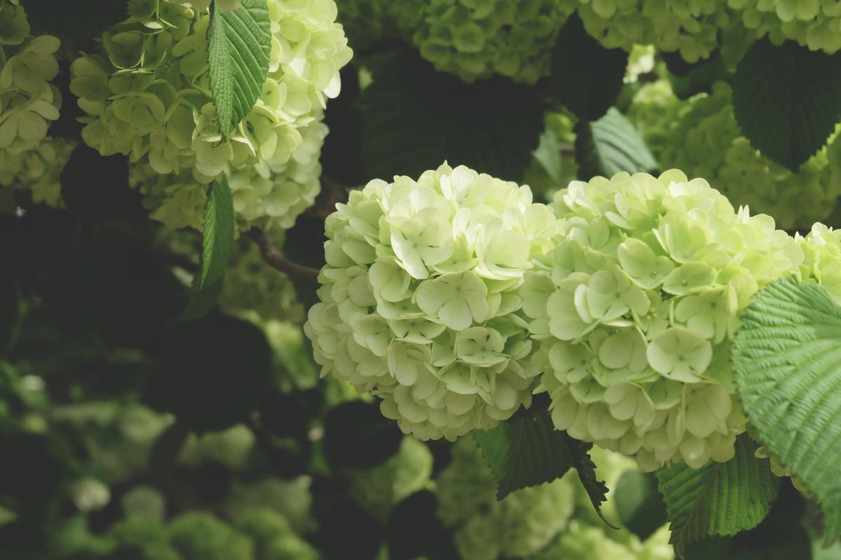 DSCF2935 wisteria ashikaga park