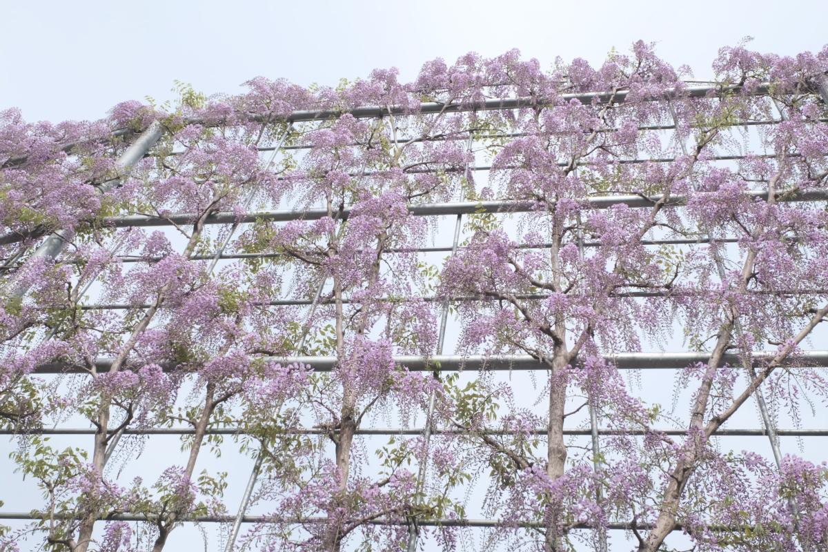 DSCF2938 wisteria ashikaga park