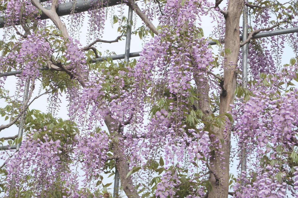 DSCF2941 wisteria ashikaga park