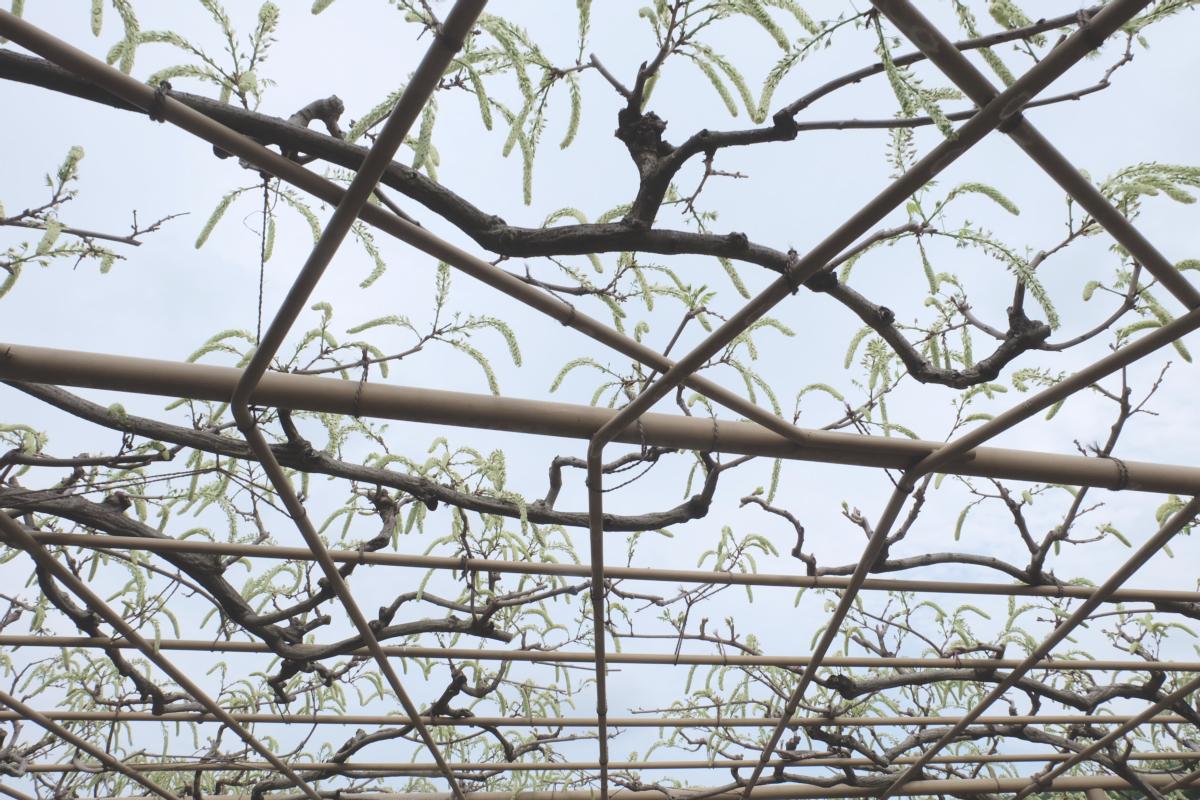 DSCF2944 wisteria ashikaga park