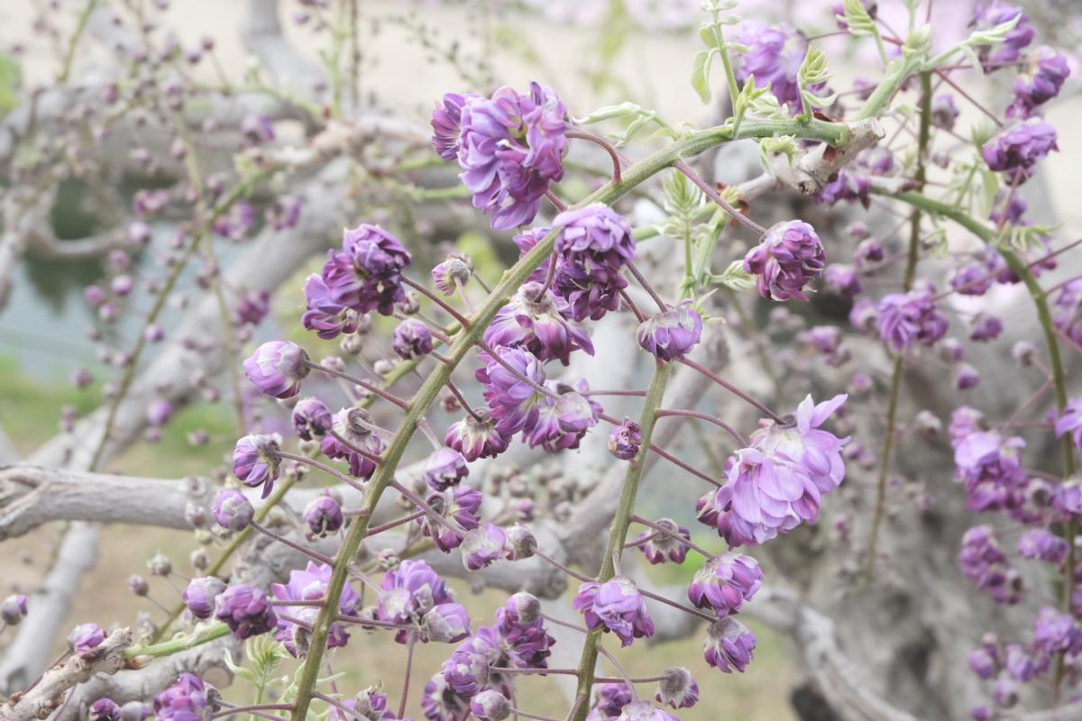 DSCF2953 wisteria ashikaga park