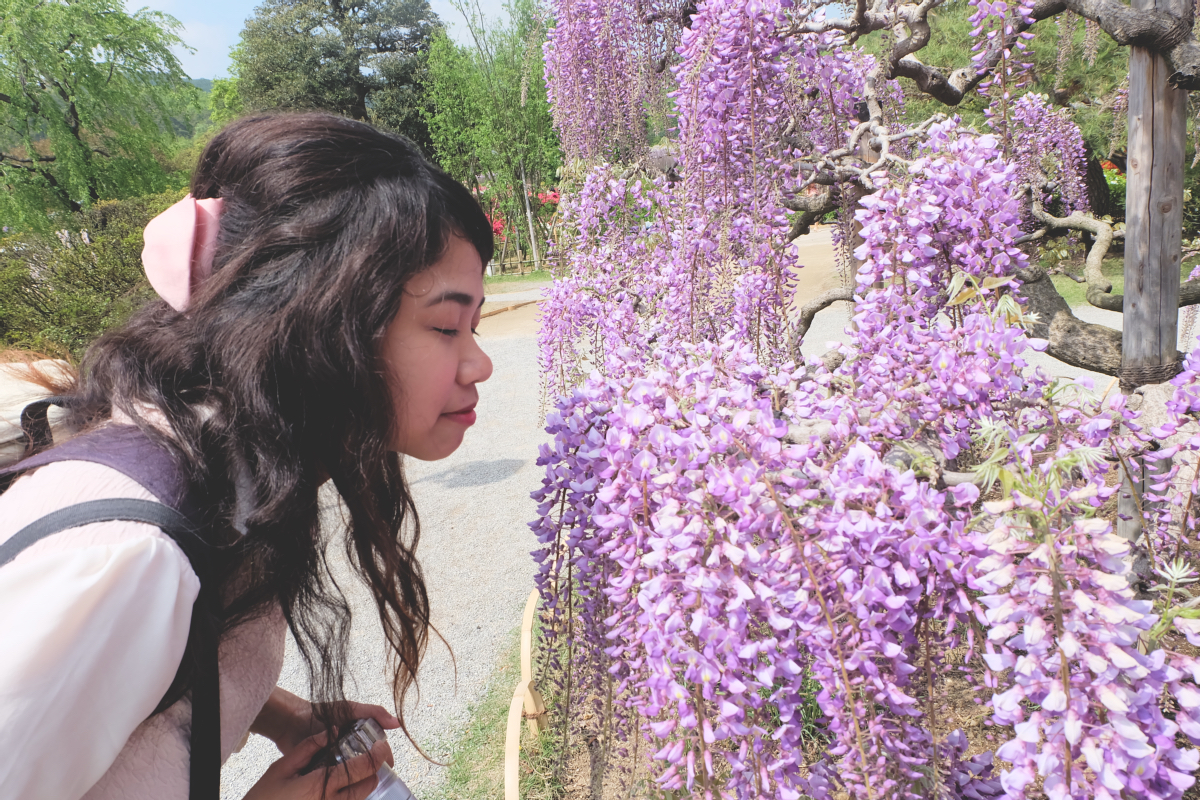 DSCF3943 wisteria ashikaga flower park tochigi