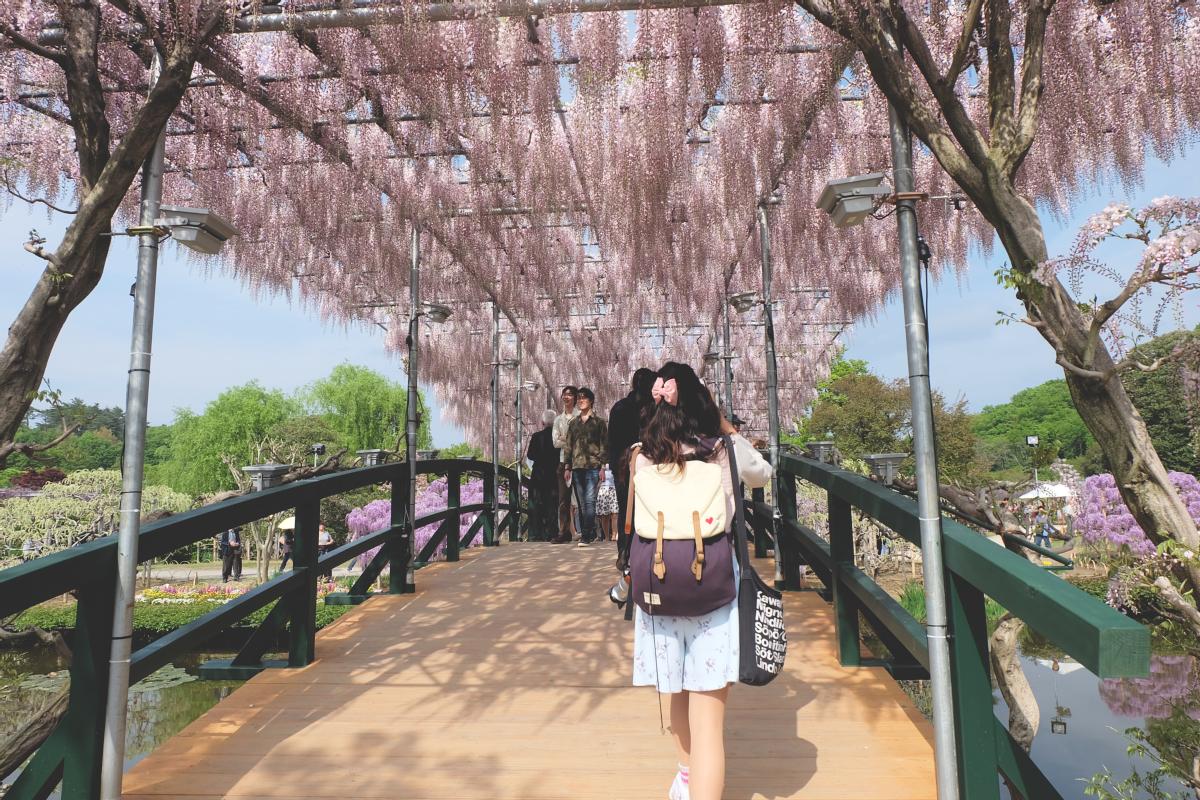 DSCF3986 wisteria ashikaga flower park tochigi