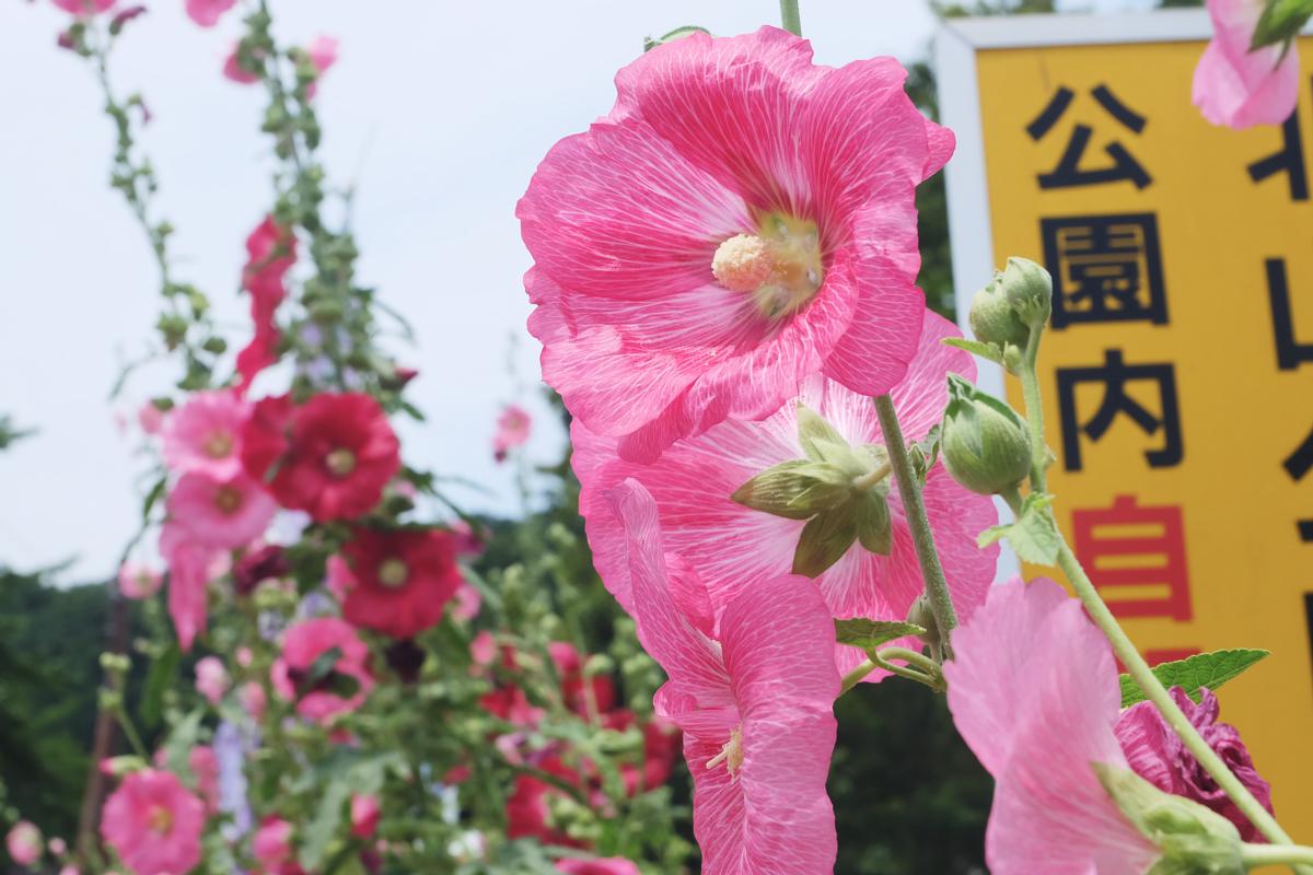 DSCF7220 Iris Festival Higashimurayama