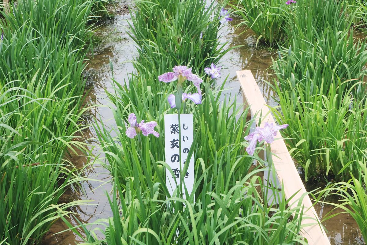 DSCF7239 Iris Festival Higashimurayama