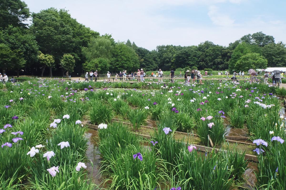 DSCF7242 Iris Festival Higashimurayama