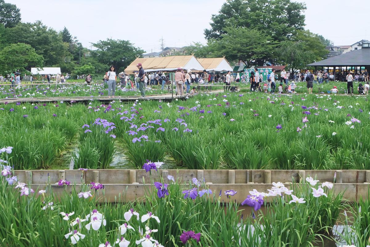 DSCF7260 Iris Festival Higashimurayama