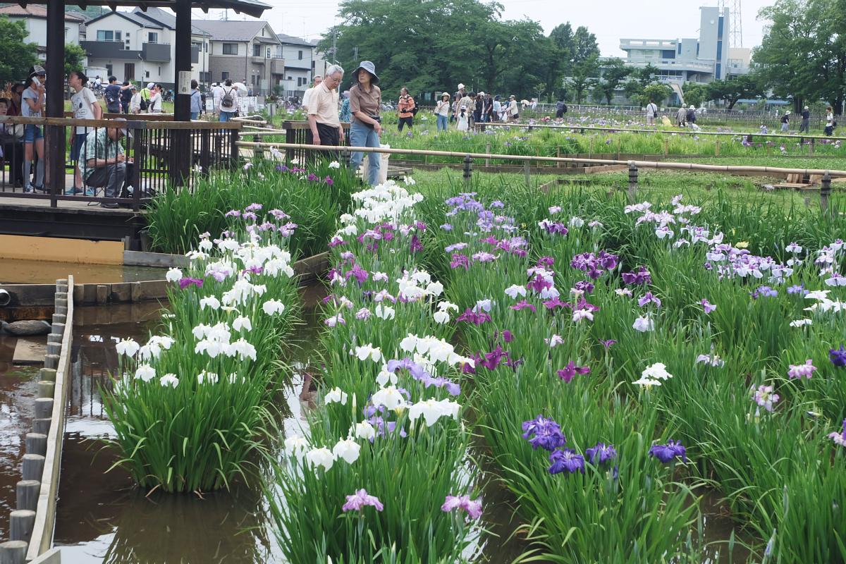 DSCF7264 Iris Festival Higashimurayama