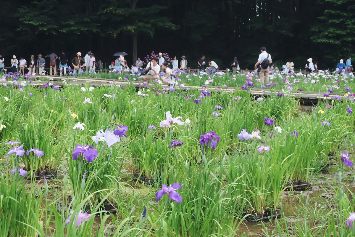 DSCF7271 Iris Festival Higashimurayama