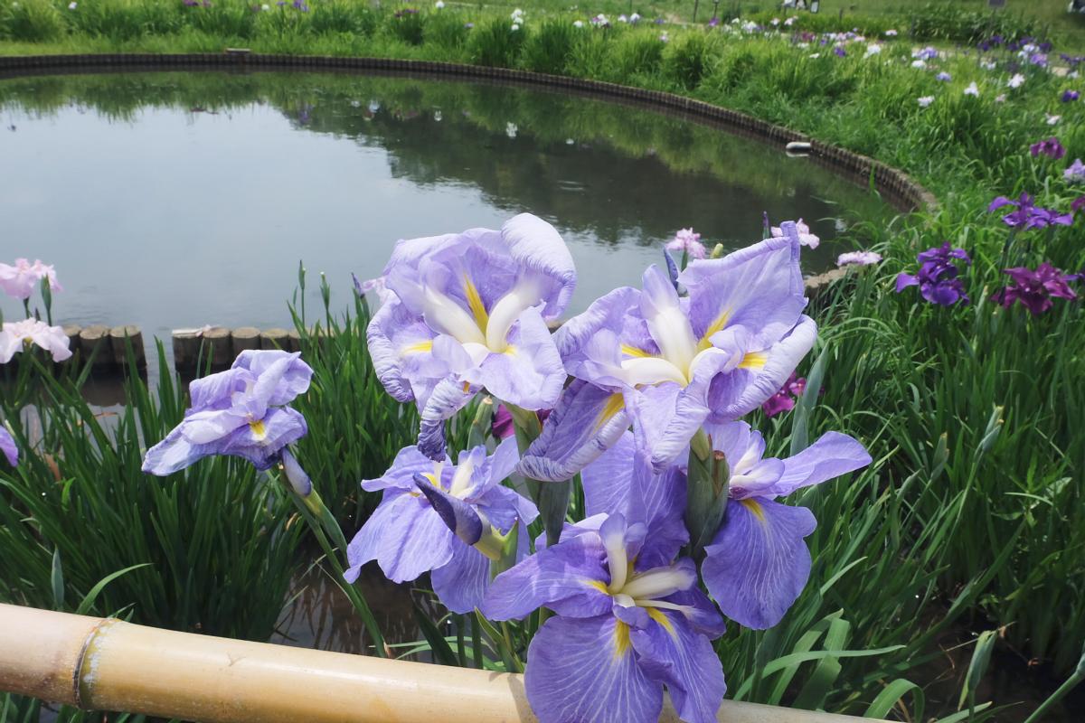 DSCF7314 Iris Festival Higashimurayama