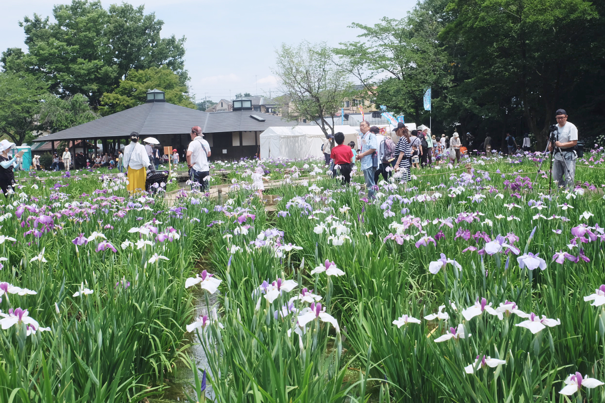 DSCF7318 Iris Festival Higashimurayama