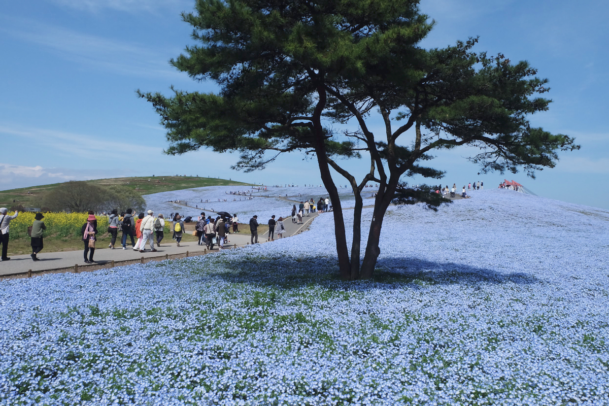 Nemophila Hitachi Seaside Park Rainbowholic Japan Kawaii 23