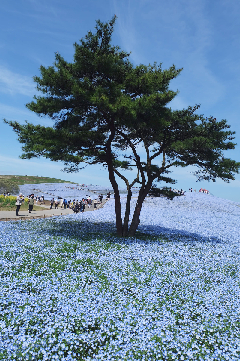 Nemophila Hitachi Seaside Park Rainbowholic Japan Kawaii 25
