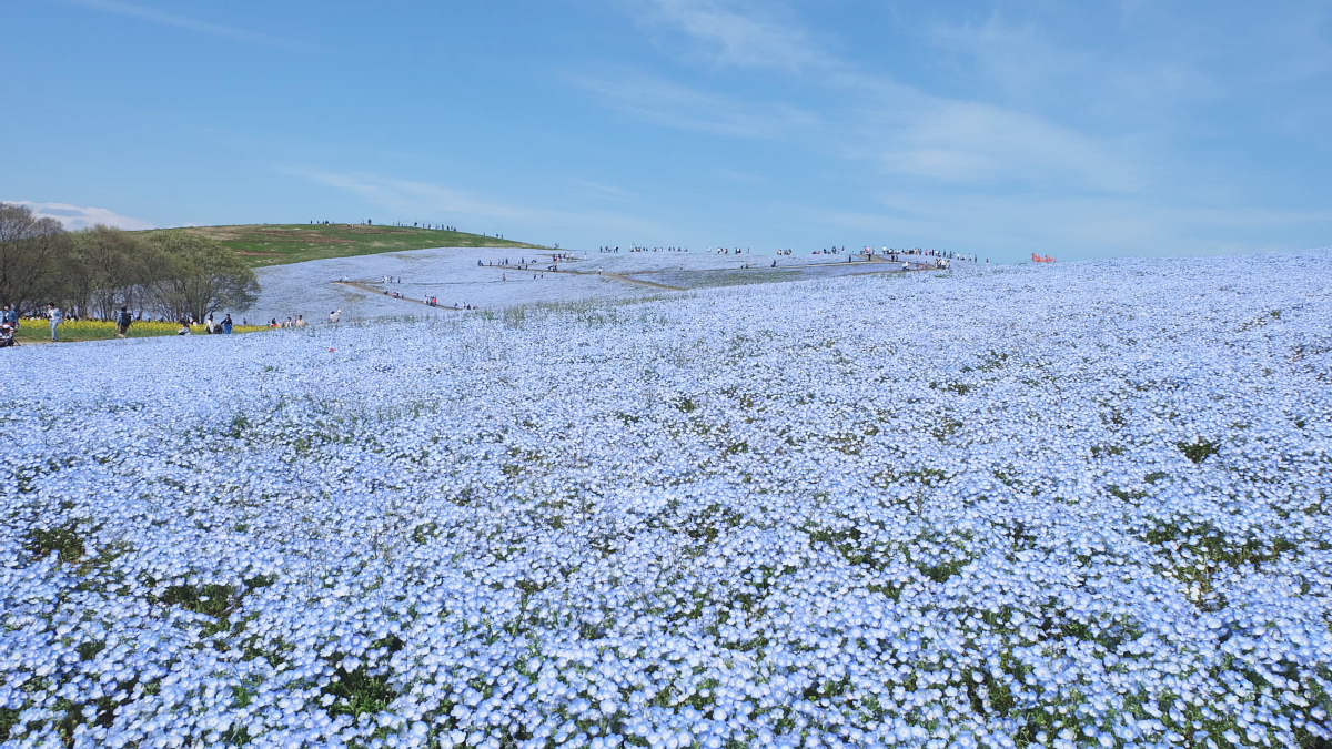 Nemophila Hitachi Seaside Park Rainbowholic Japan Kawaii 26