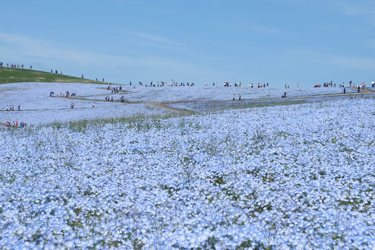 Nemophila Hitachi Seaside Park Rainbowholic Japan Kawaii 28