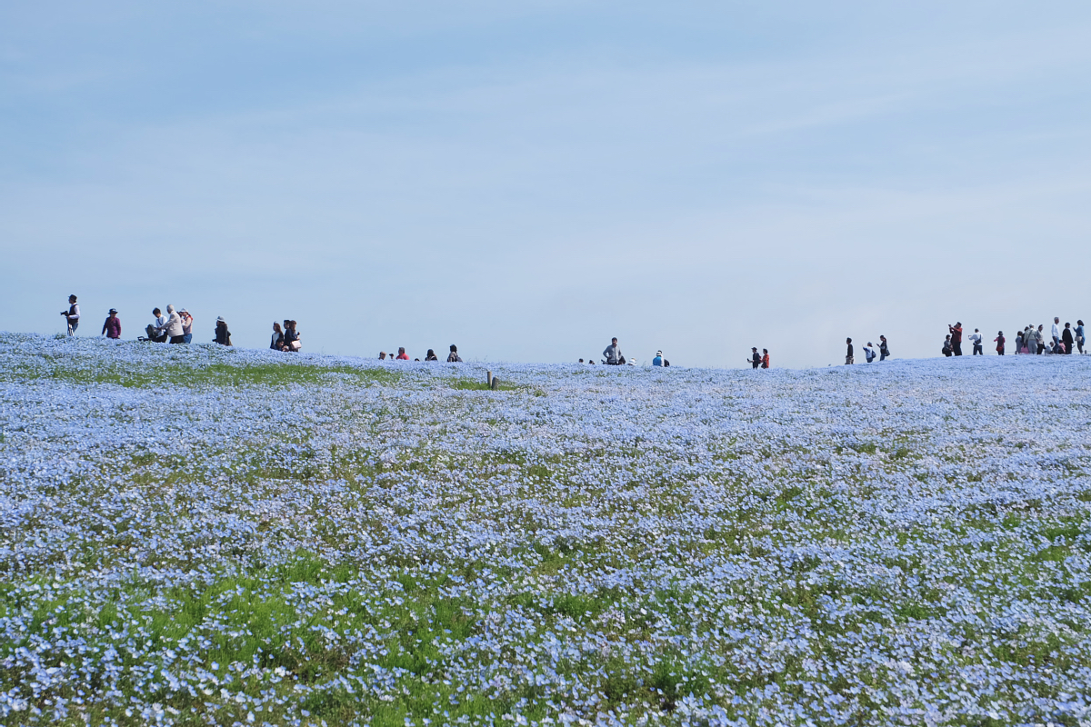 Nemophila Hitachi Seaside Park Rainbowholic Japan Kawaii 33