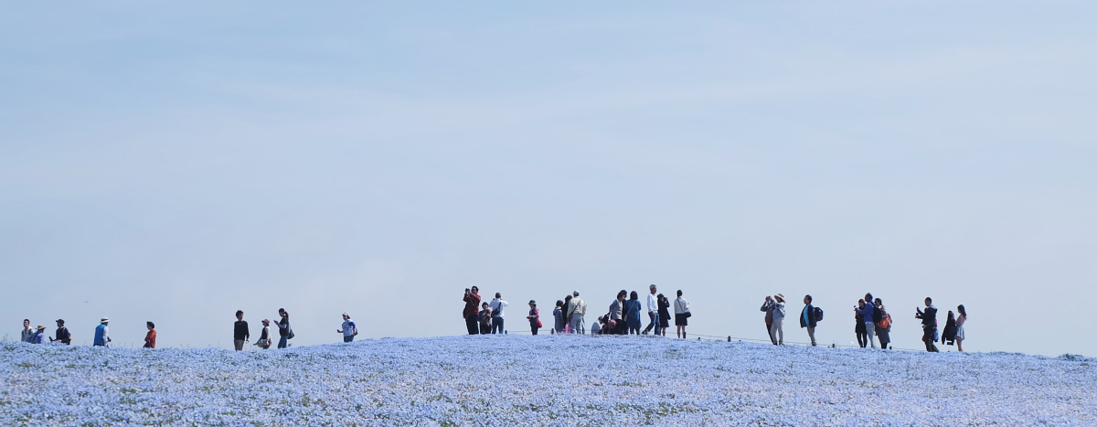 Nemophila Hitachi Seaside Park Rainbowholic Japan Kawaii 34