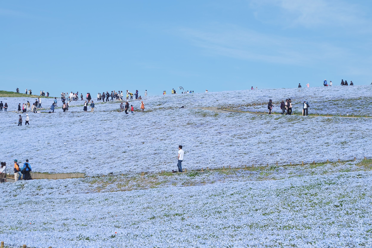 Nemophila Hitachi Seaside Park Rainbowholic Japan Kawaii 36