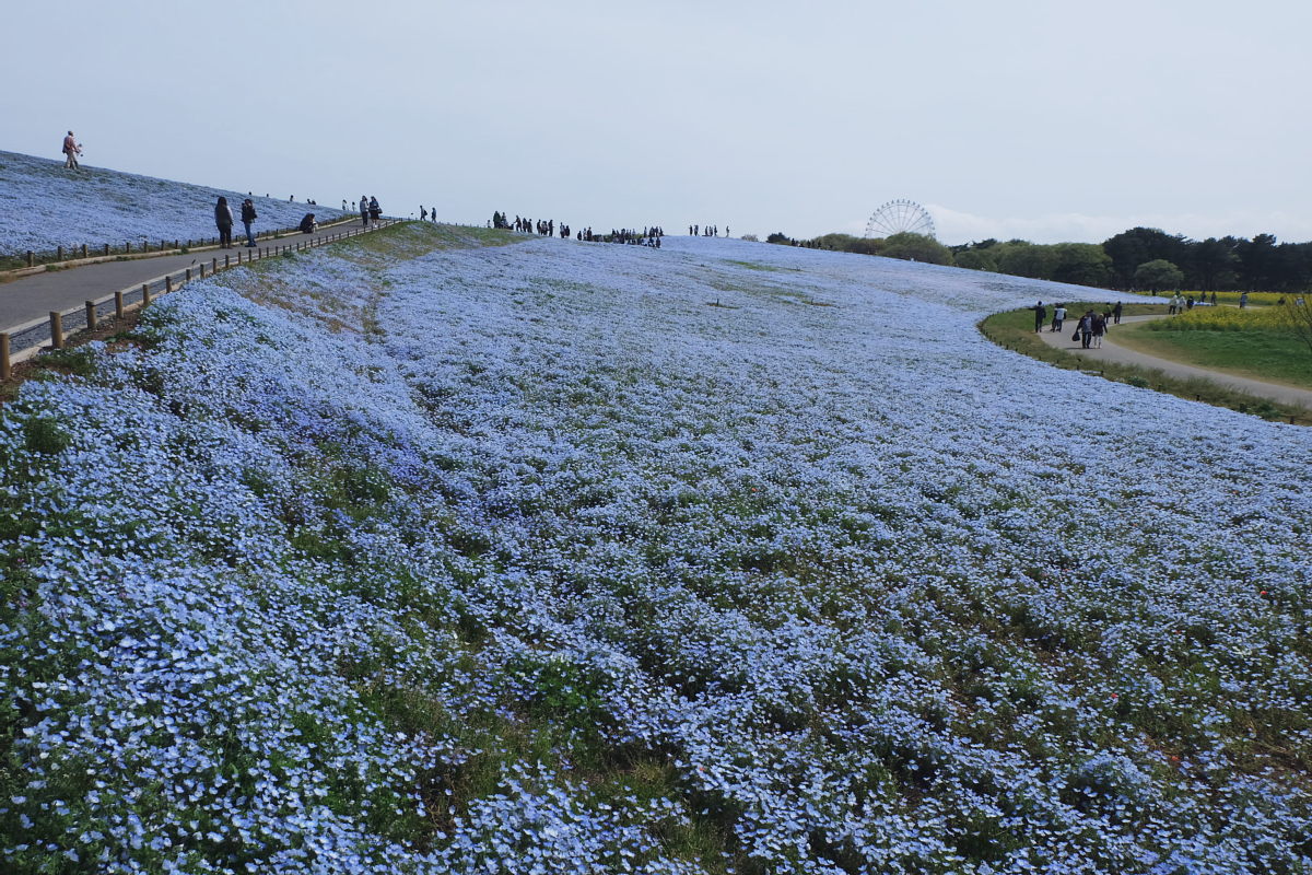 Nemophila Hitachi Seaside Park Rainbowholic Japan Kawaii 44