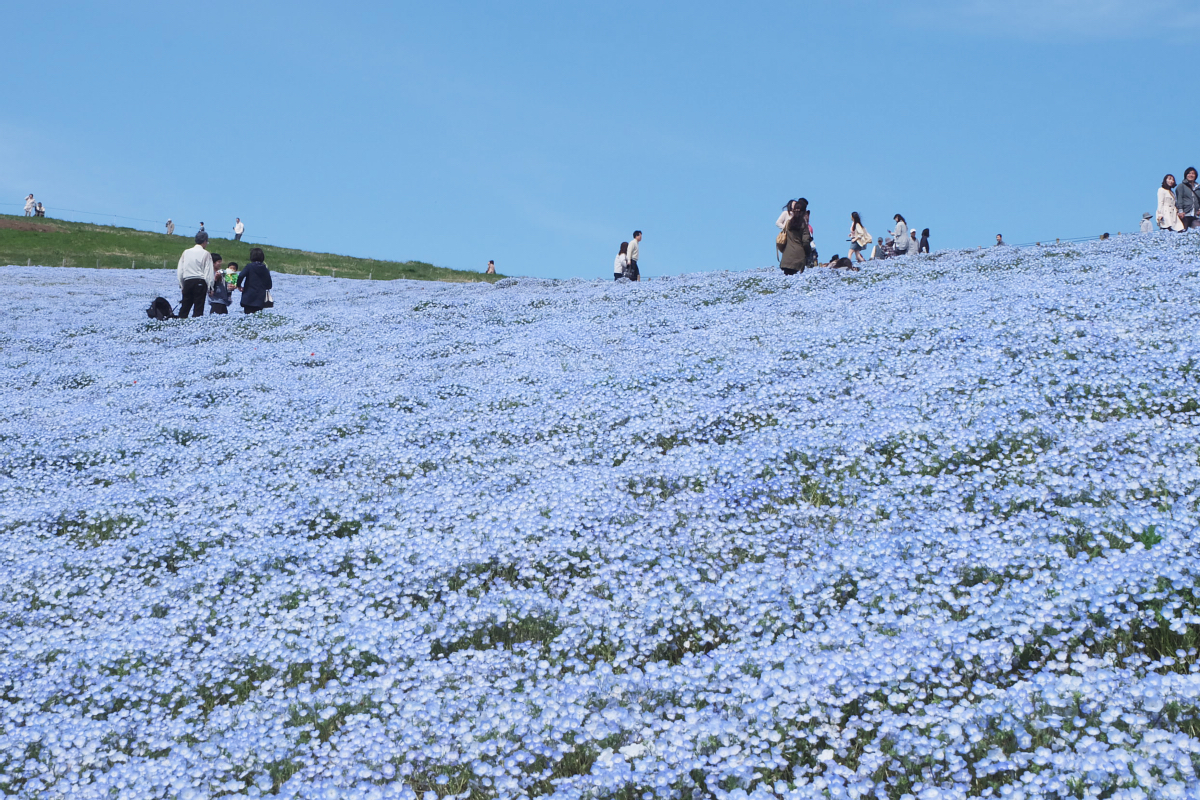 Nemophila Hitachi Seaside Park Rainbowholic Japan Kawaii 47
