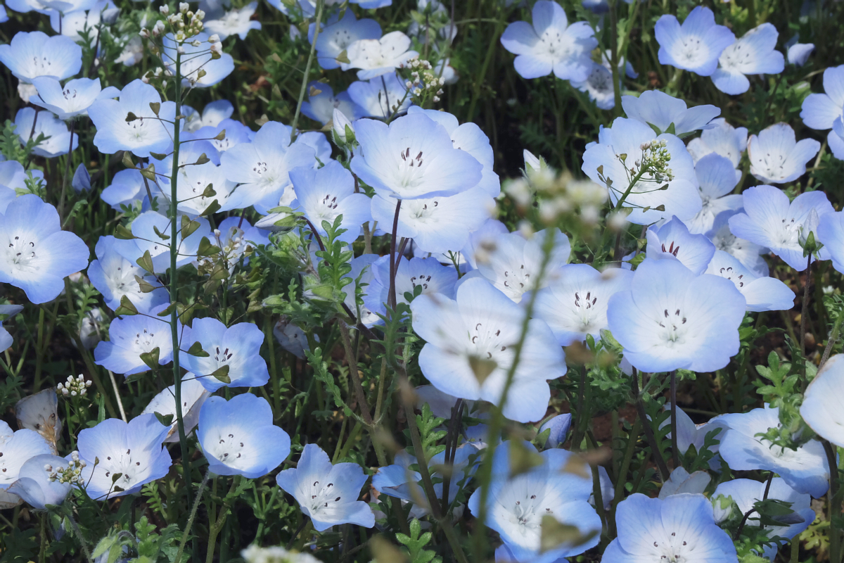 Nemophila Hitachi Seaside Park Rainbowholic Japan Kawaii 49