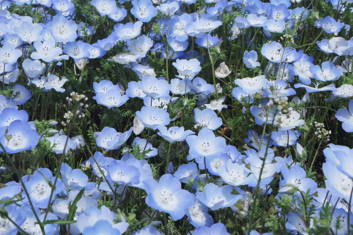Nemophila Hitachi Seaside Park Rainbowholic Japan Kawaii 50