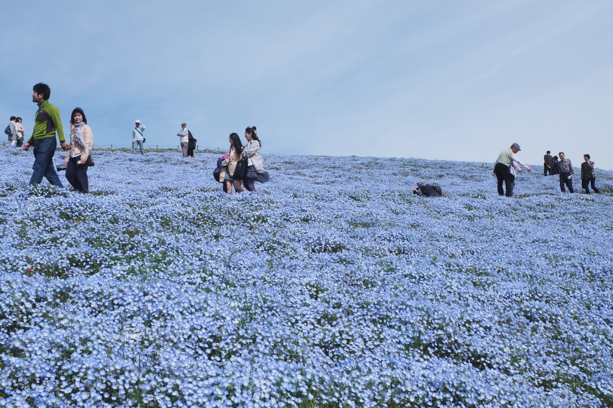 Nemophila Hitachi Seaside Park Rainbowholic Japan Kawaii 51