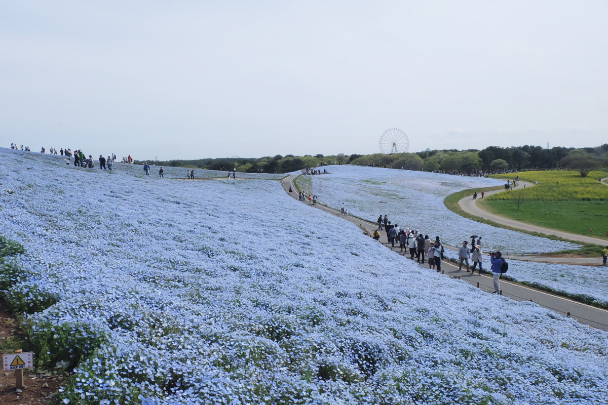 Nemophila Hitachi Seaside Park Rainbowholic Japan Kawaii 52