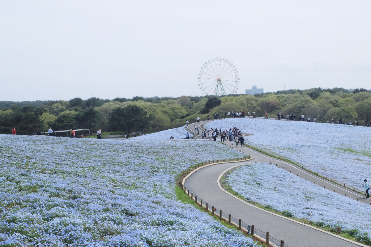 Nemophila Hitachi Seaside Park Rainbowholic Japan Kawaii 53