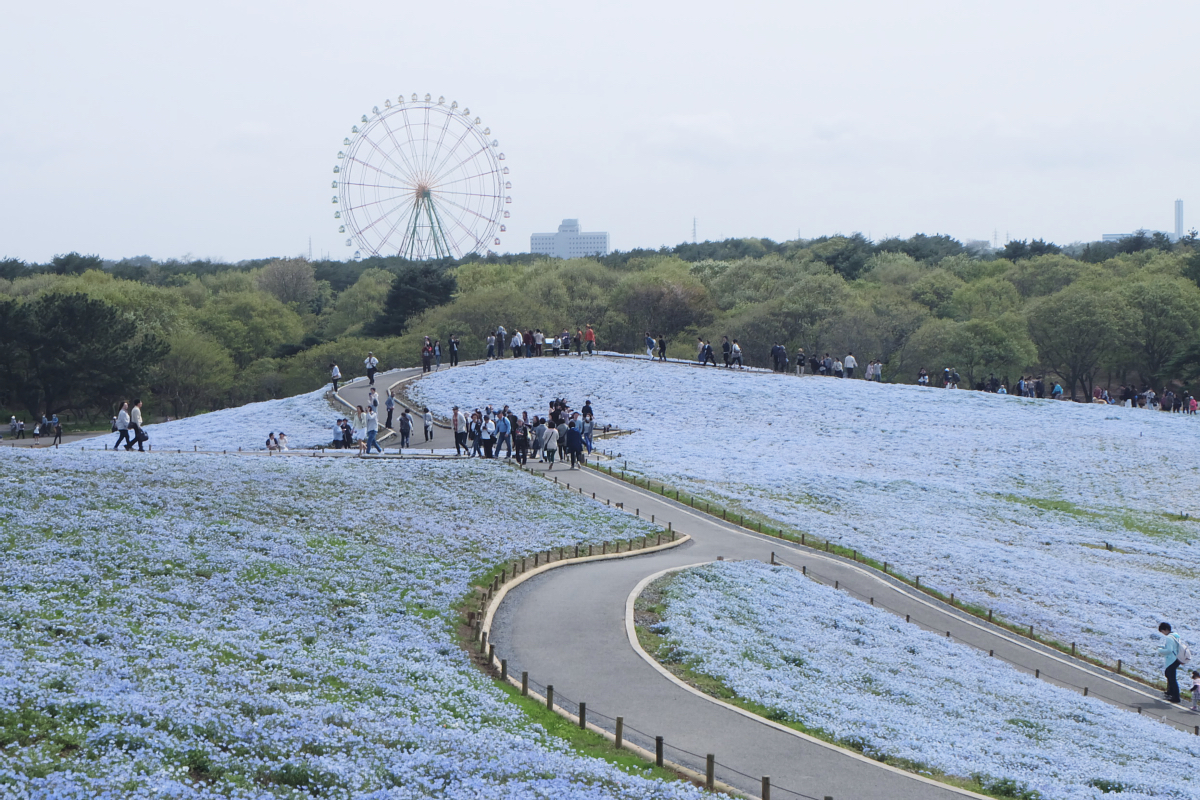 Nemophila Hitachi Seaside Park Rainbowholic Japan Kawaii 54