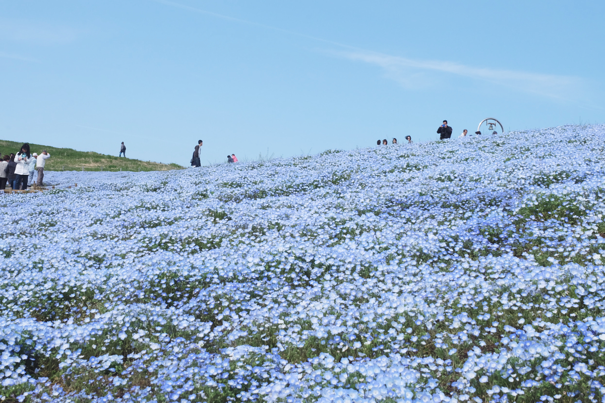 Nemophila Hitachi Seaside Park Rainbowholic Japan Kawaii 55