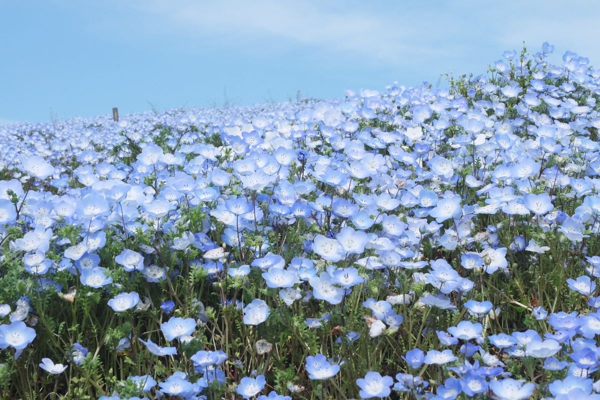 Nemophila Hitachi Seaside Park Rainbowholic Japan Kawaii 57