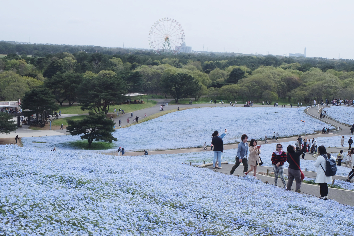 Nemophila Hitachi Seaside Park Rainbowholic Japan Kawaii 58