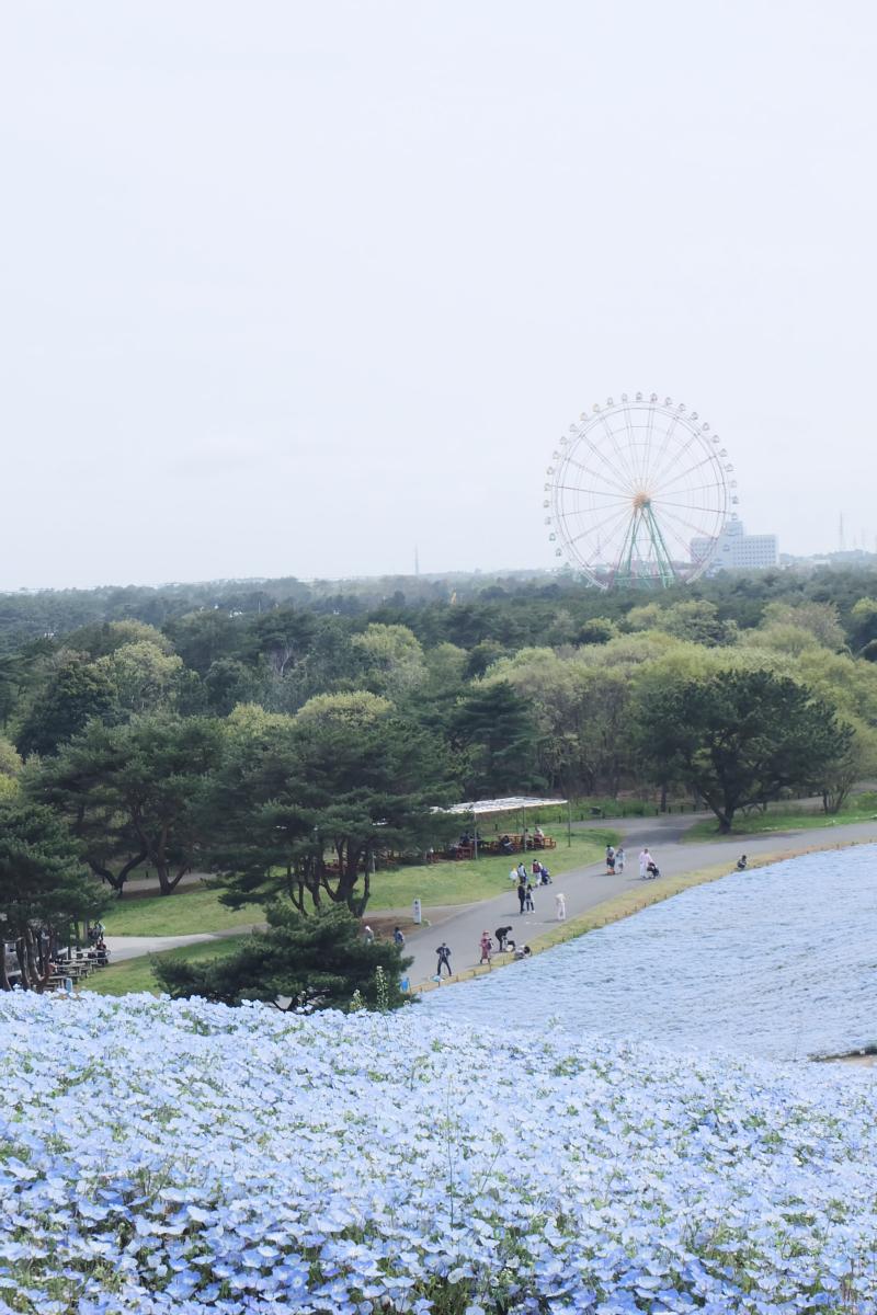 Nemophila Hitachi Seaside Park Rainbowholic Japan Kawaii 59