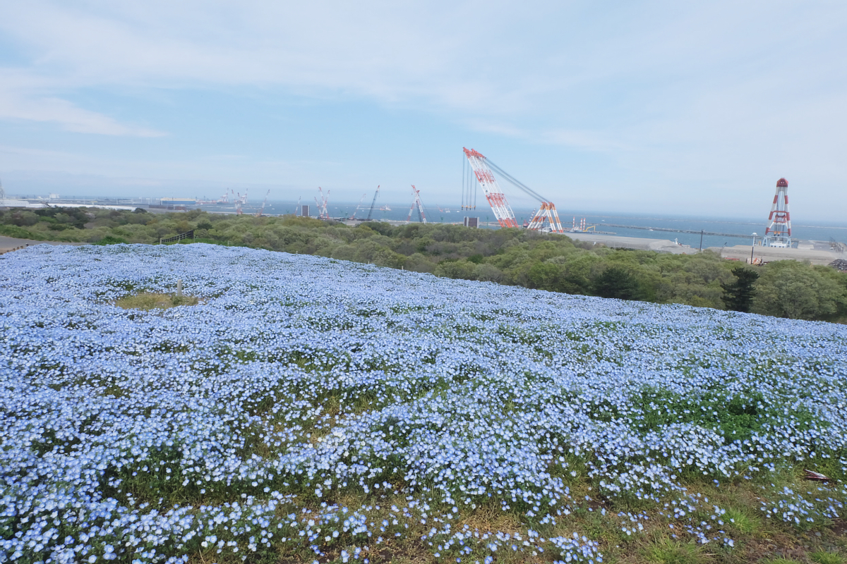 Nemophila Hitachi Seaside Park Rainbowholic Japan Kawaii 60